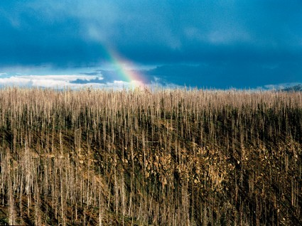 Burnt forest with rainbow